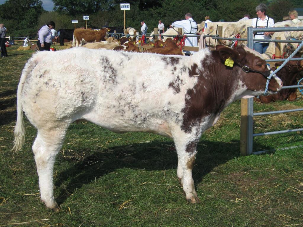 SFL heifer
