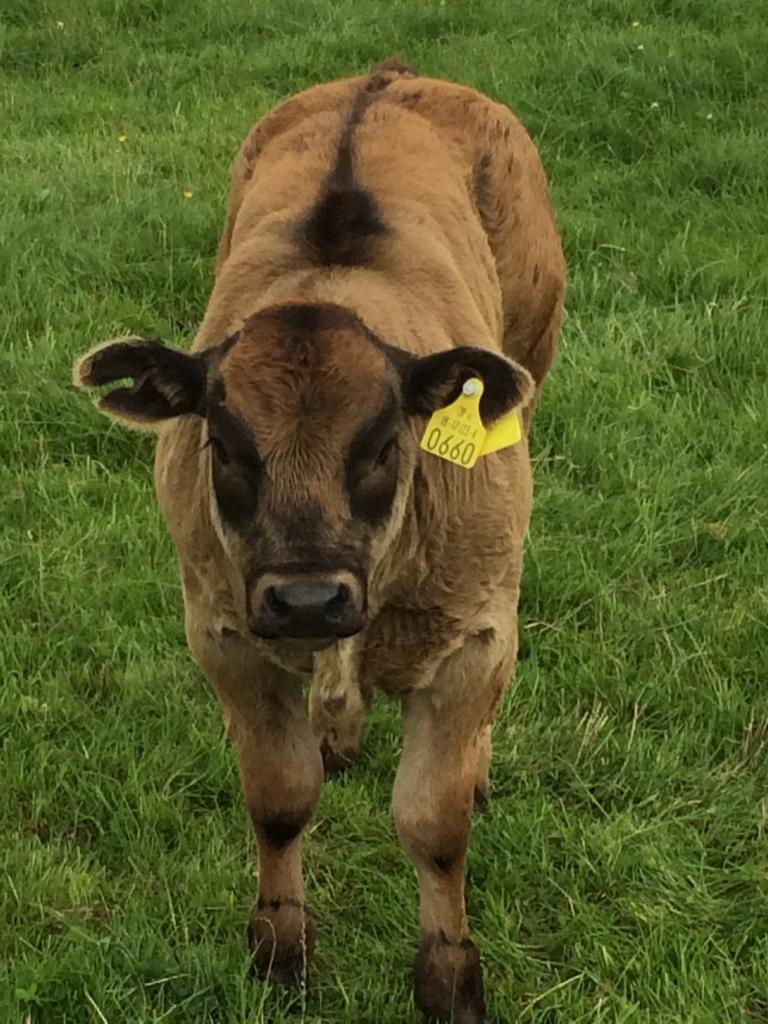 LRY bull calf