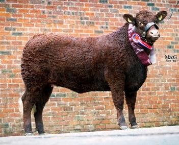 Vaillant heifer