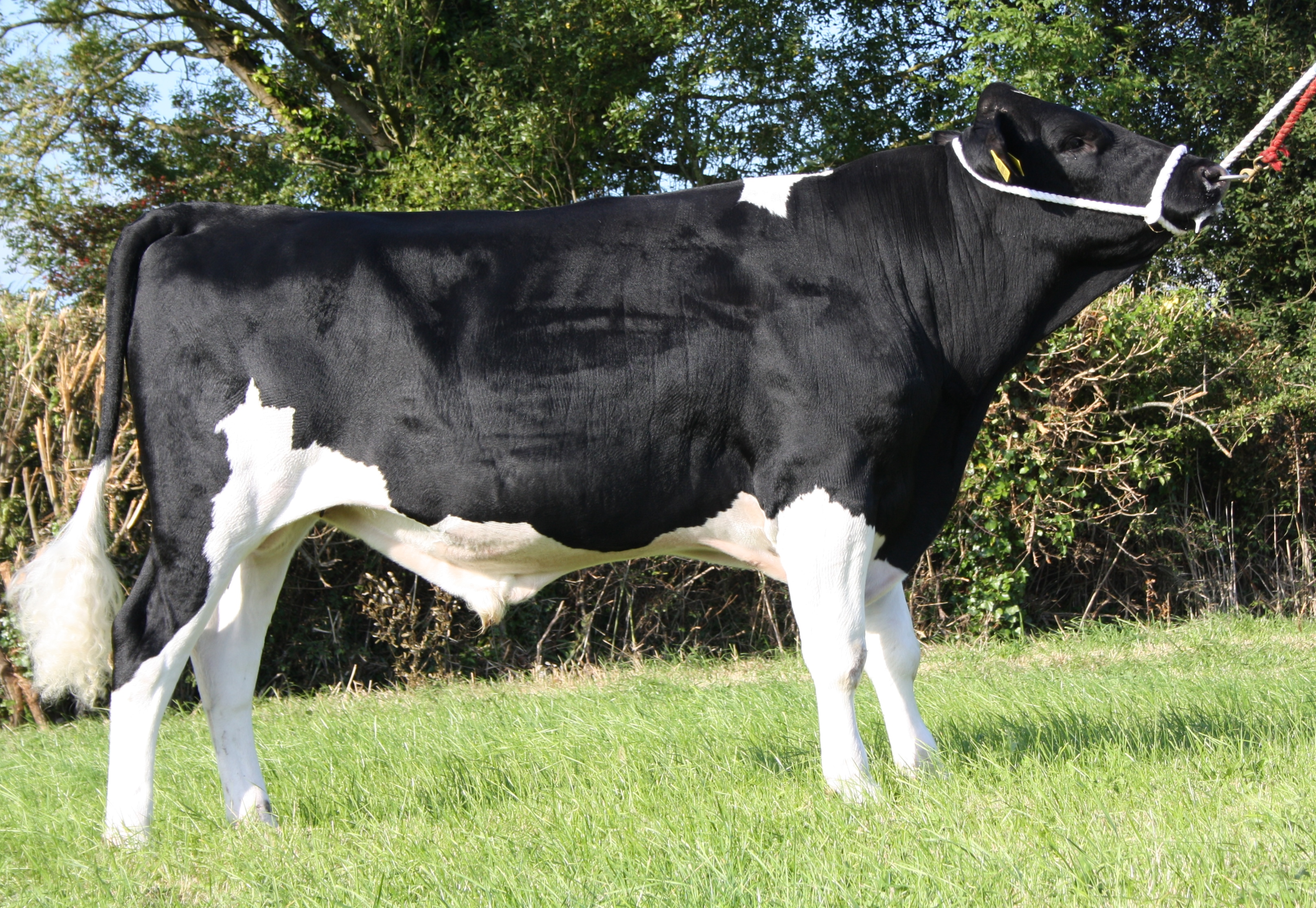 Holstein Friesian High EBI
